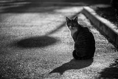 Batman Theme (sdupimages) Tags: rue street féline noirblanc noiretblanc blackwhite hmbt monochrome mbt bw nb chat cat pet animal bokeh shadow ombre