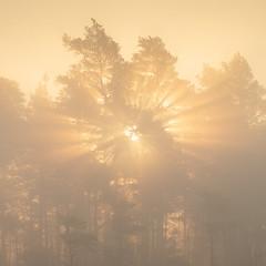 Store Mosse Nationalpark Höst VI (Gustaf_E) Tags: dimma forest höst landscape landskap mist morgon nationalpark pine pines skog småland storemossenationalpark sverige sweden tall woods