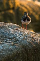 T'es quoi, toi ! (stephanegachet) Tags: france bretagne breizh bzh oiseau sea seabird bird tournepierre stephanegachet gachet wildlife nature animal