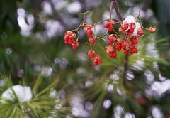 Brigid's Day (Jetcraftsofa) Tags: nikonf3 micronikkor5528 lomo400 35mm slr filmphotography availablelight brigidsday returnoflight imbolc pines snow yuki matsu bokeh dof springsnow redflowers