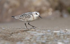Beach Bird Bokeh (Slow Turning) Tags: calidrisalba sanderling bird walking beach sand stones pebbles shore lake water bokeh southernontario canada summer migrant migrate migrating