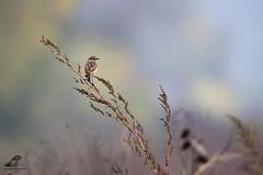 Saxicola torquata (nonnogrizzly) Tags: saxicolatorquata saltimpalo uccelli aves birds natura fauna
