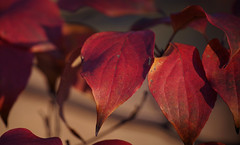Dogwood at the golden hour (Violet aka vbd) Tags: pentax k1ii k1markii hdpentaxda55300mmf4563edplmwrre ct connecticut newengland vbd leaves dogwood 2018 fall2018 red scarlet handheld manualexposure trumbull bokeh