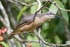 Victoria's Riflebird (female) (Jim Scarff) Tags: australianbirds birdsofparadise ptilorisvictoriae victoriasriflebird femaleorimmature exif:aperture=ƒ80 camera:model=canoneos7dmarkii camera:make=canon geo:location=chamberswildliferainforestlodge exif:focallength=463mm exif:model=canoneos7dmarkii exif:lens=ef100400mmf4556lisiiusm14xiii exif:isospeed=2500 exif:make=canon