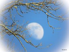 Madame La Lune entre les mains de Dame Nature. (murielle1957) Tags: groupesnuagesetciel apparition lever nature branche arbre bleu ciel lune