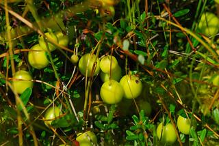 Cranberries (Vaccinium sp.)