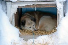_ROS5070-Edit.jpg (Roshine Photography) Tags: dog yukonquest winter den dawsoncity environmental snow yukon canada ca