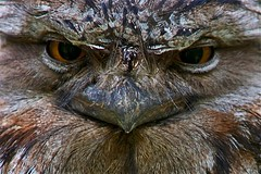 IMG_0229 (Morglen) Tags: frogmouth bird nocturnal