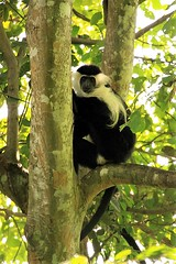 Angolan black and white colobus Udzungwa Mountains National Park in Tanzania (inyathi) Tags: eastafrica tanzania africananimals angolanblackandwhitecolobus colobusangolensispalliatus monkeys primates colobus udzungwa africanwildlife nationalpark africa