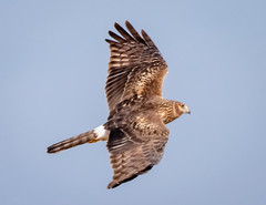 Northern Harrier Hunting (tresed47) Tags: 2019 201902feb 20190205fowlersbeachbirds birds canon7dmkii content delaware february folder fowlersbeach harrier northernharrier peterscamera petersphotos places season takenby us winter