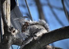 (lauchoart) Tags: squirrel écureuil animal wildlife quebec winter hiver cold