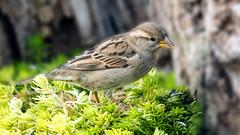 Spatz (petra.foto busy busy busy) Tags: spatz haussperling fauna vogel vögel garten natur fotopetra canon 5dmarkiii