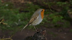Robin (Deanne Wildsmith) Tags: robin bird staffordshire wolseley nature centre earthnaturelife