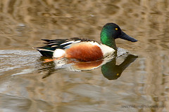 Northern_Shoveler_Male_02 (DonBantumPhotography.com) Tags: wildlife nature birds animals northernshovelermale donbantumphotographycom donbantumcom