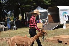 DSC_5108 (VAYG) Tags: vay vytec paraders aaa victorian alpaca association youth australian australia iar 2019 alpacas alpacalypse crystal cove profarma jay hall athena melbourne show redhill red hill