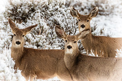Spring Snow Deer (Nolan Thornberry) Tags: muledeer springsnow deerandsage grandmesa cedaredgecolorado deltacountyco