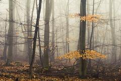 Colours (Netsrak) Tags: baum bäume eu eifel europa europe forst landschaft natur nebel rheinland rhineland wald fog forest landscape mist nature outdoor trees winter woods