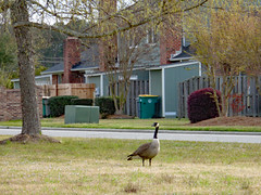 Canada Goose On The Lawn. (dccradio) Tags: lumberton nc northcarolina robesoncounty outdoor outdoors outside nature natural goose geese canadagoose canadageese grass lawn yard ground bird waterfowl tree trees greenery branch treebranch treebranches treelimb treelimbs march spring springtime sunday sundaymorning morning goodmorning sony cybershot dscw830 independencedrive street road paved pavement sky overcast cloudy animal wildlife
