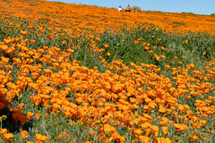 Antelope Valley Poppy Preserve (tsutomu45) Tags: poppies superbloom california poppy canon 6d eos flowers antelope valley orange nature