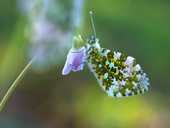 Anthocharis cardamines - Oranjetipje - Orange Tip Butterfly (de_frakke) Tags: vlinder anthochariscardamines oranjetipje orangetipbutterfly mariposa schmetterling papillon natuur koebos