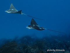 Spotted Eagle Rays (kerryedwards3) Tags: underwater warmwater bonaire shoredive spotted eagle rays fish