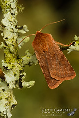 Red Chestnut (Cerastis rubricosa) (gcampbellphoto) Tags: red chestnut cerastis rubricosa moth insect wildlife nature invert woodland oakwood northern ireland county antrim gcampbellphoto macro