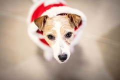 I Have a Few Jobs on at the Moment (moaan) Tags: kobe hyogo japan jp dog jackrussellterrier kinoko costumed clothes santaclaus christmas belatedchristmas bokeh bokehphotography dof dogphotography canon canonphotography canoneos5dsr ef50mmf4usm 50mm f14 utata 2018