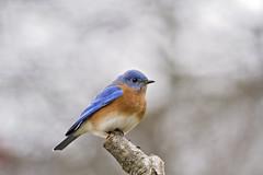 new years bluebird ( explore ) (G_Anderson) Tags: backyard birds birding missouri bluebird