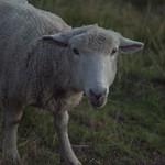 21974-sheep at dawn thumbnail