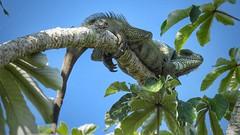Iguana (sileneandrade10) Tags: sileneandrade iguana iguanaiguana pantanal lagarto réptil iguanidae floresta nikoncoolpixp900 nikon natureza animal árvore camuflagem verde