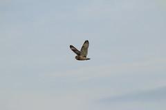 IMG_9881 (monika.carrie) Tags: monikacarrie wildlife seo shortearedowl forvie scotland owl