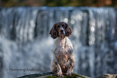 At waterfall (Flemming Andersen) Tags: stone zigzag spaniel waterfall pet nature mumlava falls dog outdoor water cocker hund animal mumlavafalls harrachov liberecregion czechrepublic cz