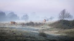 Campagne hivernale (Bertrand Thiéfaine) Tags: campagne hiver matin aube fraîcheur froid gelée prairie bovidés champtoceaux brume