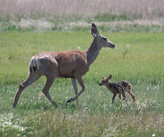 Mule Deer-7 (trdunn) Tags: muledeer colorado weldcounty wildlife animal easternplains nature doe fawn