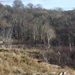 Ceithir Fèidh anns a' choille/Four deer in the wood. thumbnail