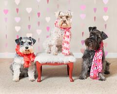 Schnauzer Valentines (Cheryl3001) Tags: dog schnauzer valentine canon 5d mark iii 50mm f14