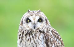 Short eared owl (badger2028) Tags: asio flammeus short eared owl