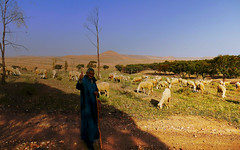 To remember the nature, spend a day with a shepherd; to remember yourself, spend a day with nature! (Le.Patou) Tags: maroc morocco fz1000 agafay desert dune sheep shepherd herd orange shadow pasture hello marrakesh marrakech