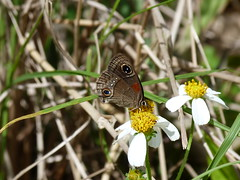 P1210912  Cuban Calisto--Calisto herophile (birder2015 Toronto, Canada) Tags: cubancalisto calistoherophile nymphalidae satyrinae butterfly mariposa lepidoptera insect endemic holguincuba wildflower