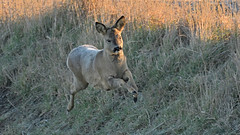 Roe Deer (image 1 of 3) (Full Moon Images) Tags: wicken fen burwell nt national trust wildlife nature reserve cambridgeshire animal mammal running roe deer