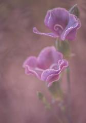 Mini Carnations (MarleenHuber) Tags: flower carnation pastel pink texture macro