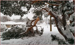 Tree Down In The Hood (Bill 2.6 Million views) Tags: tags capitalregionaldistrict crd mounttolmie mttolmie tolmie rattenbury snowdrops walk hike saanichparks universityofvictoria uvic glastonbury thegrind olympic mountain range washington state vancouver island british columbia canada britishcolumbia daypack finnerty mounttolmiepark panorama panoramic smartphone galaxynote5 saanich understory backpack september eastsooke linearpark lineartrail deer bucks game wildlife kingsberrycrescent pearstreet photoshop branches storm blizzard
