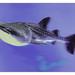 Yokohama J - Hakkeijima Sea Paradise - Aqua Museum - Walhai - Rhincodon typus 07