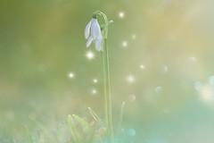 The Snowbell... (KissThePixel) Tags: snowdrop flower whiteflower winterflower flora winterflora magic snow snowbell lov bokeh macro makro nature garden longacremanor light dreamy soft pastel closeup nikon nikond750 50mm sigma70200mm 28 f28