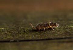 Orchesella cincta (markhortonphotography) Tags: isotomurus deepcut surrey springtail macro fencepost globby sangs collembola mindenhurst hexapoda wildlife surreyheath nature invertebrate