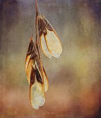 Maple Wings (Samara) (anitabower) Tags: maple maplesamara maplewings tree seeds seedpods