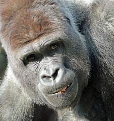 western lowlandgorilla Bauwi Burgerszoo 094A1176 (j.a.kok) Tags: gorilla animal africa afrika aap ape mammal monkey mensaap primate primaat westelijkelaaglandgorilla westernlowlandgorilla lowlandgorilla laaglandgorilla zoogdier dier burgerszoo zilverrug silverback bauwi