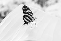 Butterfly (PeteMartin) Tags: artis butterfly bw infrared zoo