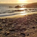 Elephant seals at the San Simeon viewing point thumbnail