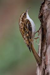 Treecreeper (Richard J Hunt) Tags: formby wildlife woods treecreeper 700d canon birdwatching bird